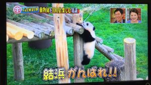 ホンマでっかーパンダ-1